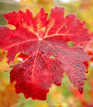 exemple vigne rouge