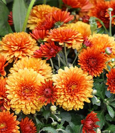 exemple Chrysantellum