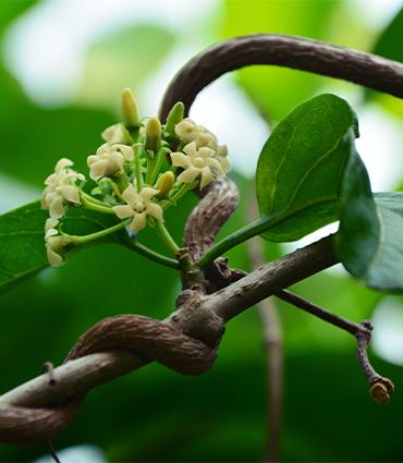 exemple Gymnema sylvestre