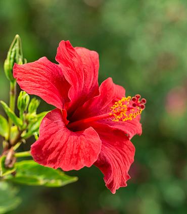 exemple Hibiscus