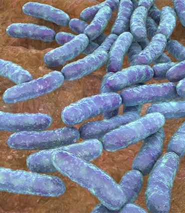 exemple Lactobacillus helveticus Lafti®