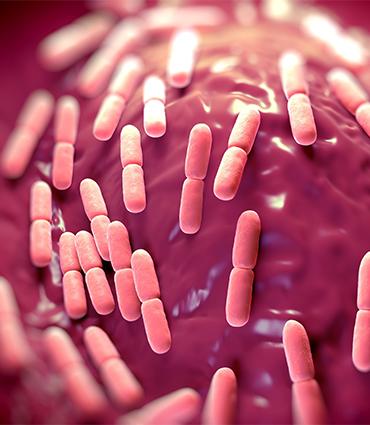 exemple Lactobacillus salivarius SP2