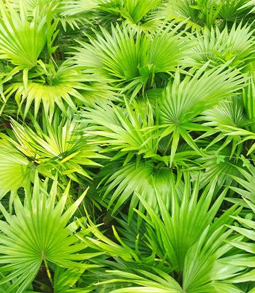 exemple Saw palmetto (Serenoa repens)