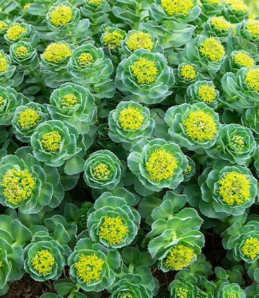 exemple Rhodiola